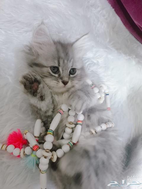 جده - قطط شيرازي العمر