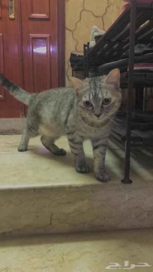 قطط اناث من فصيلة شيرازي وتايقر للبيع
