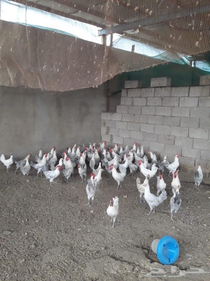 ابها دجاج على السوم
