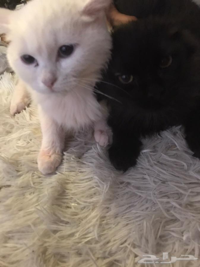 قطط شيرازي2