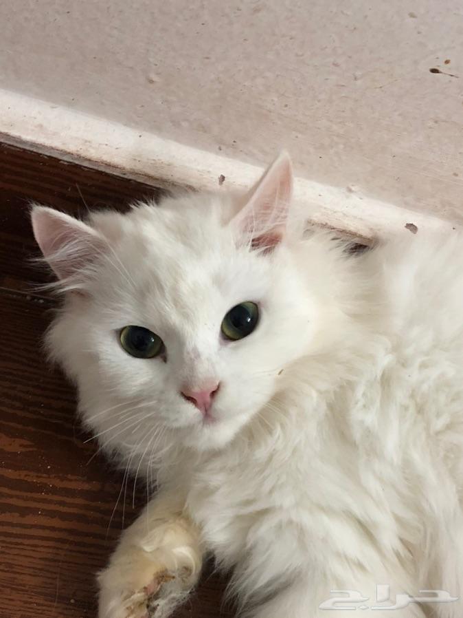 للبيع قطط شيرازي ابيض ورمادي وهملايا