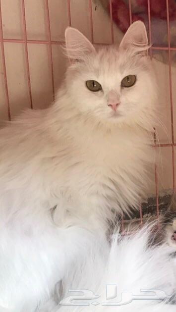 قطة شيرازية للتبني بالرياض