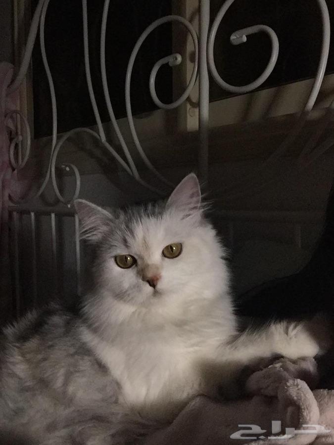 ابها - قطه شيرازيه نظيفه