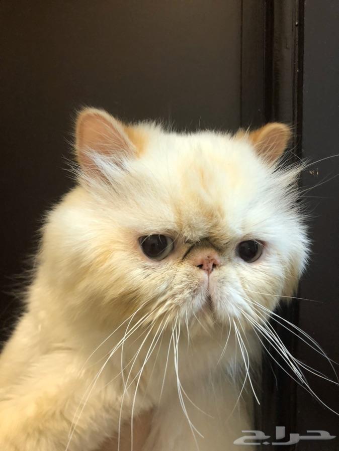 قط بيكي فيس للتزاوج