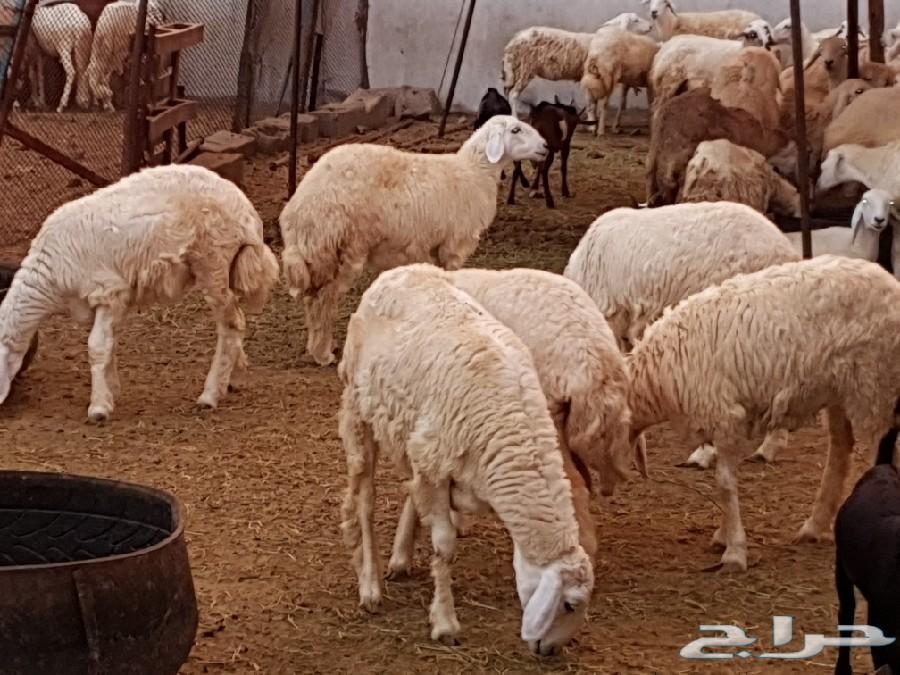 طليان سواكني وحري تربية وتيوس بيشية وحص
