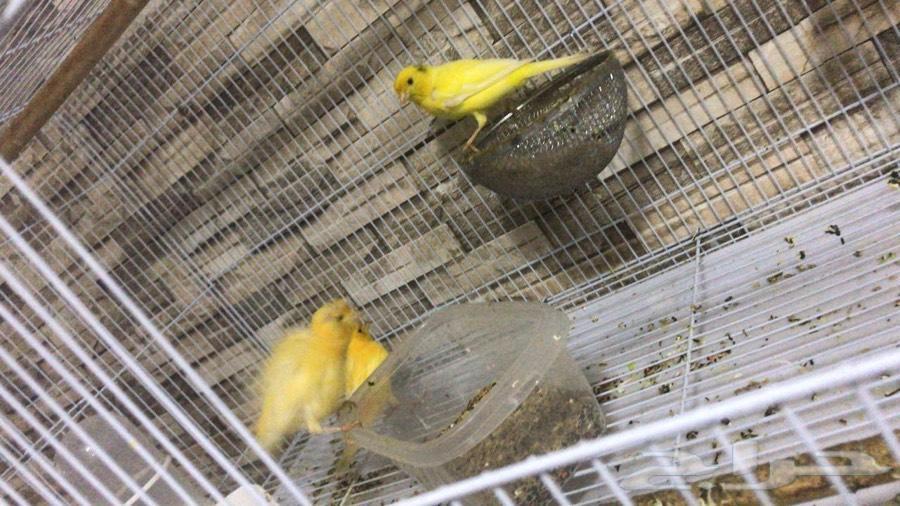طيور كناري للبيع