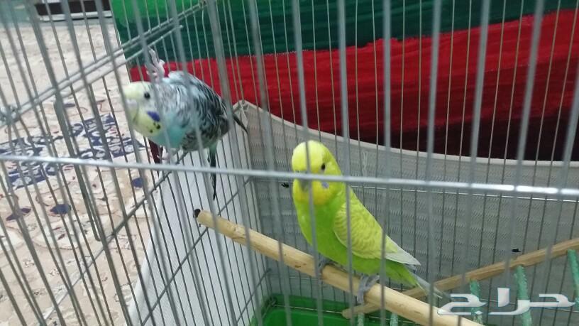 جوز طيور الحب بادجي