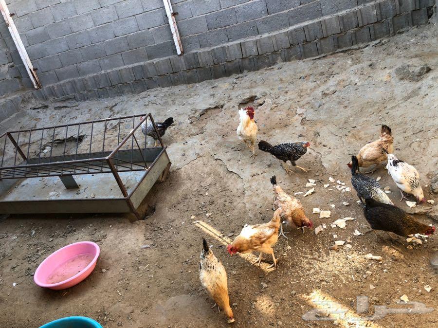 ابها السلام عليكم دجاج
