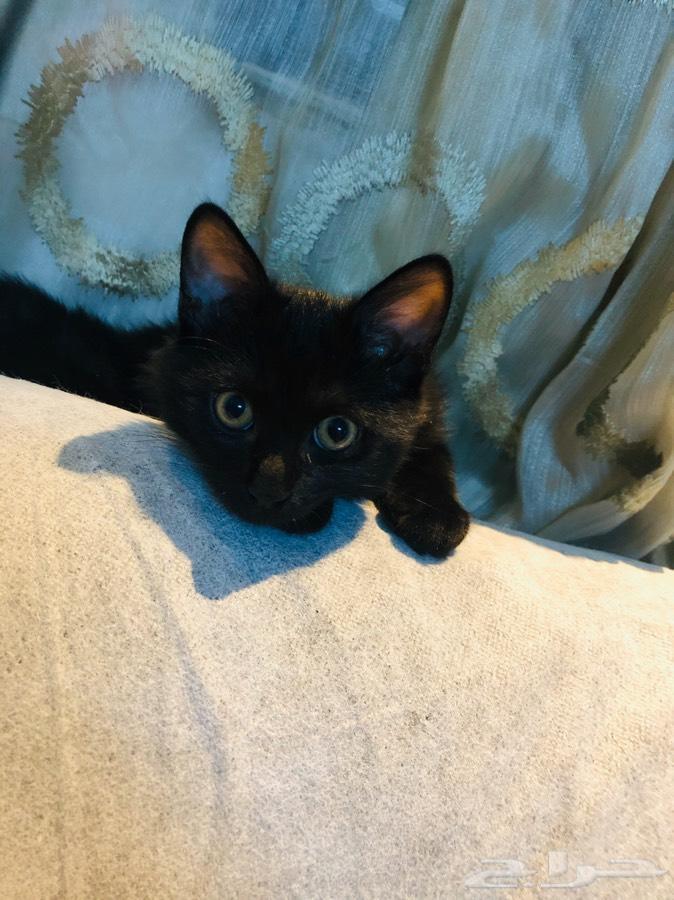 قطط ل البيع.