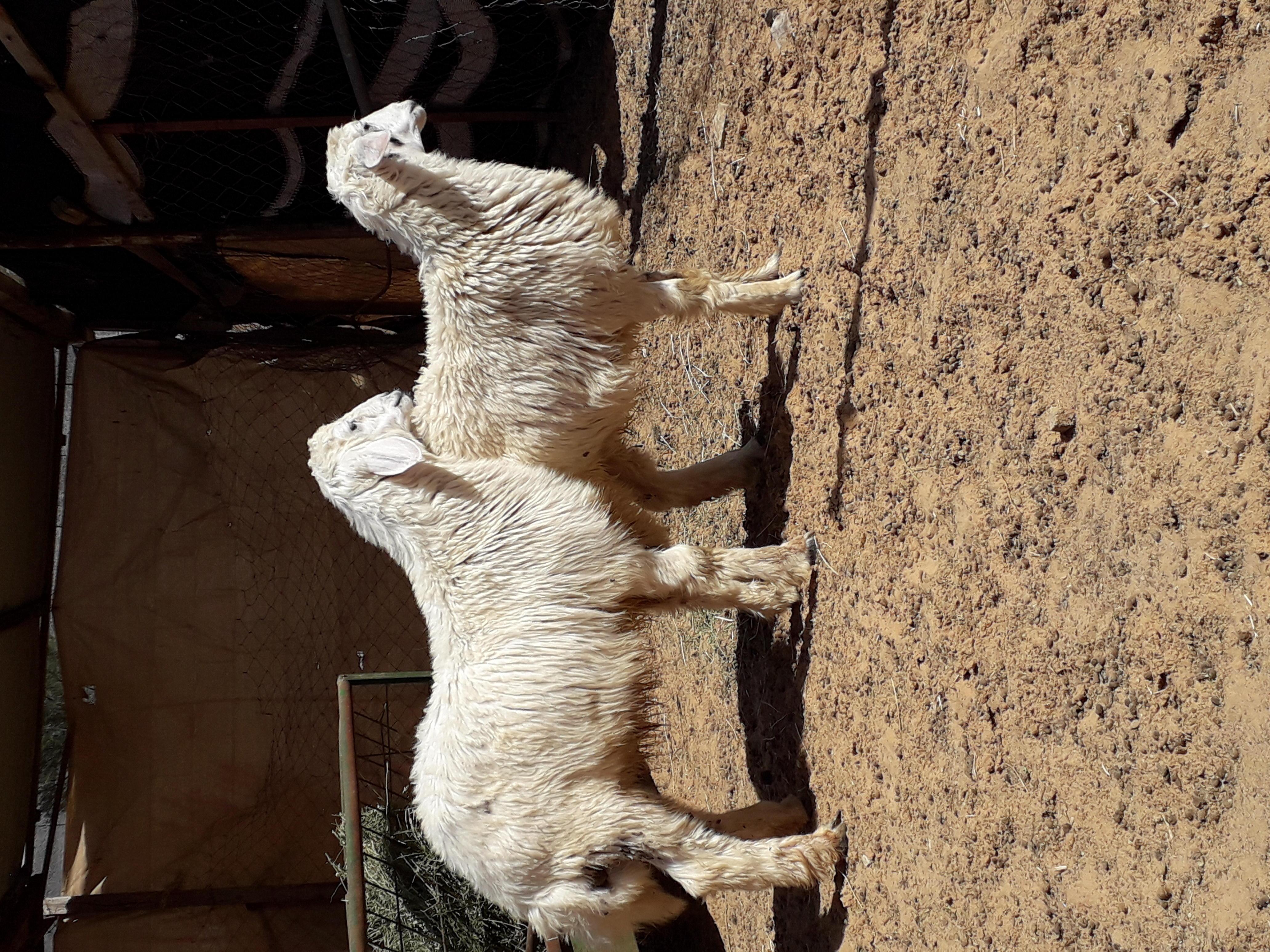 للبيع حريات وتيوس الحريات خروف ورخل ببريدة