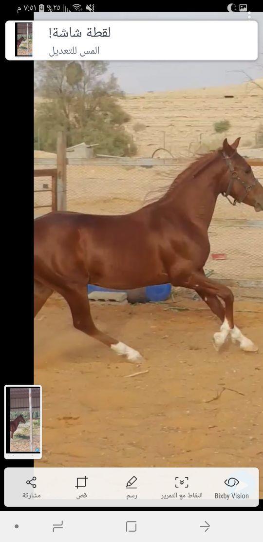 للبيع حصان شعبي شيخ