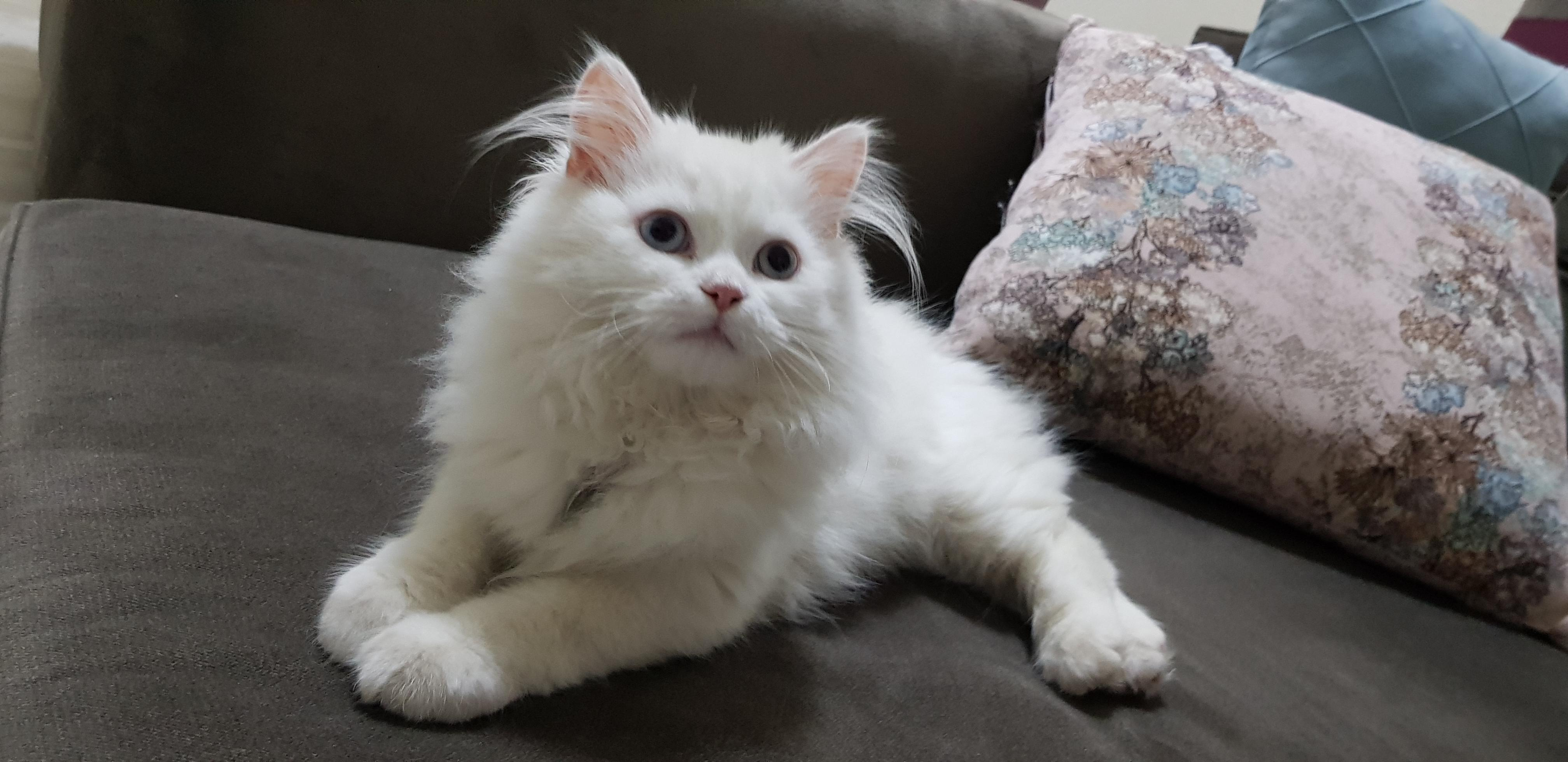 قط شيرازي أليف جدا وهيبة  )