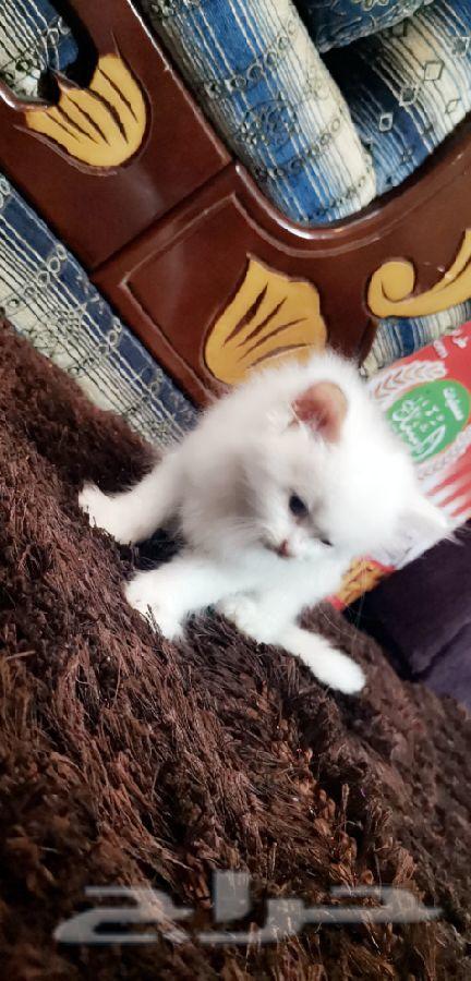 قطه أنثى شهر ونص