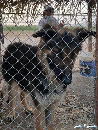 كلاب جيرمن شيبر للبيع