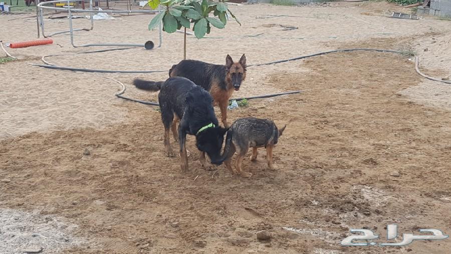 كلب و جرو جيرمن شبيدر للبيع