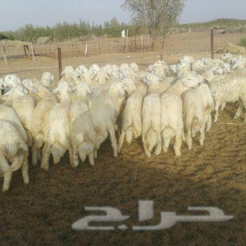 طليان حريه جبره للمناسبات