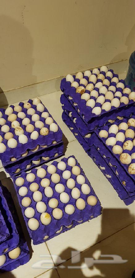 بيض بلدي مخصب الرياض