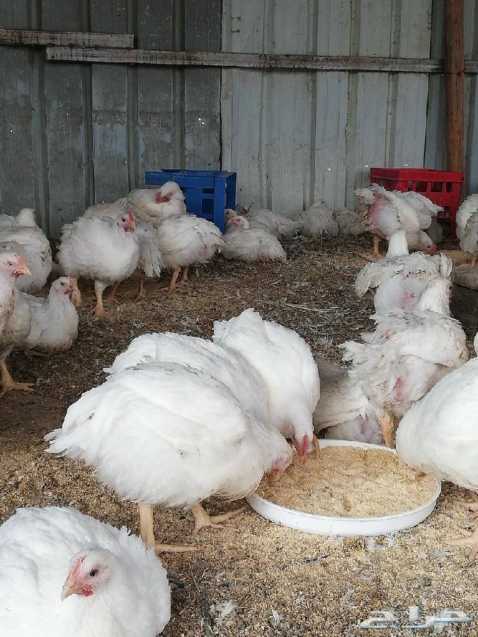 دجاج لاحم أبيض