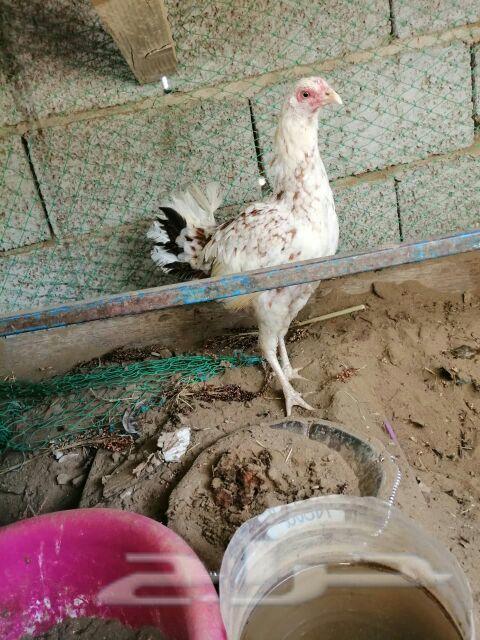 ديك ودجاجه بلدي