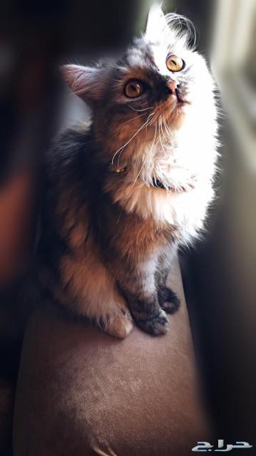 قطة شيرازية مون فيس للبيع