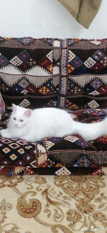 ابها - يوجد لدي قطه شيرازيه