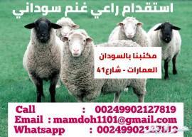 راعي غنم سوداني
