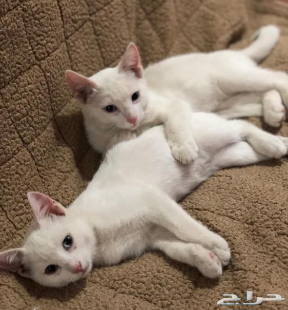 قطط شيرازي للبيع  nعمرها من 3الي 4 اشهر