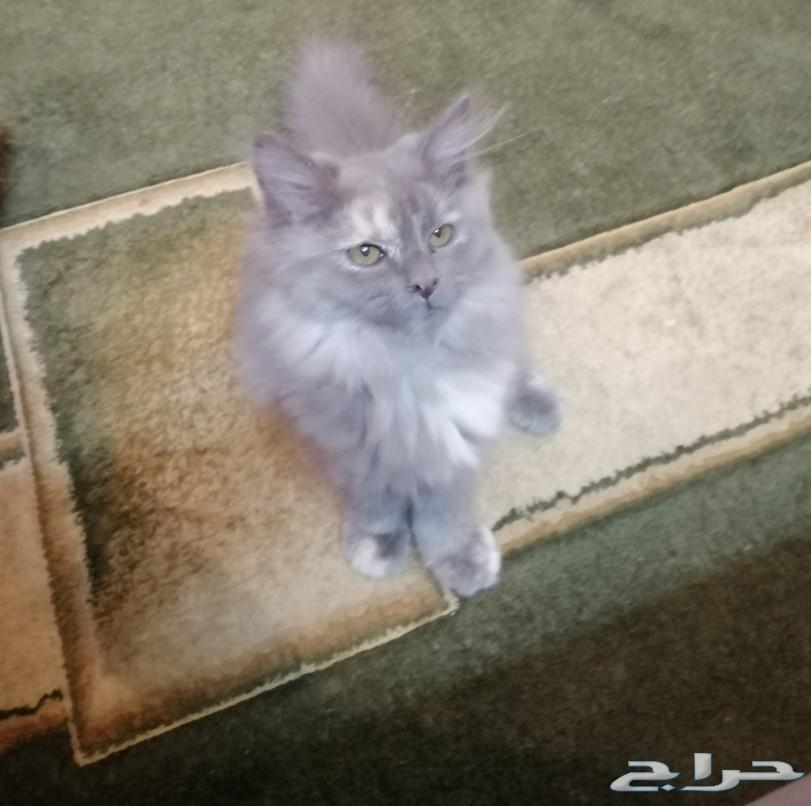 قطه روسيه