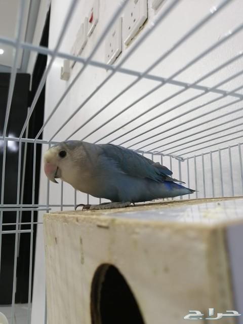 طيور روز جميله للبيع