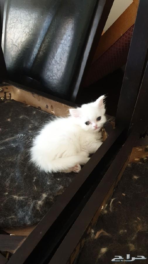 قطة صغيرة للبيع