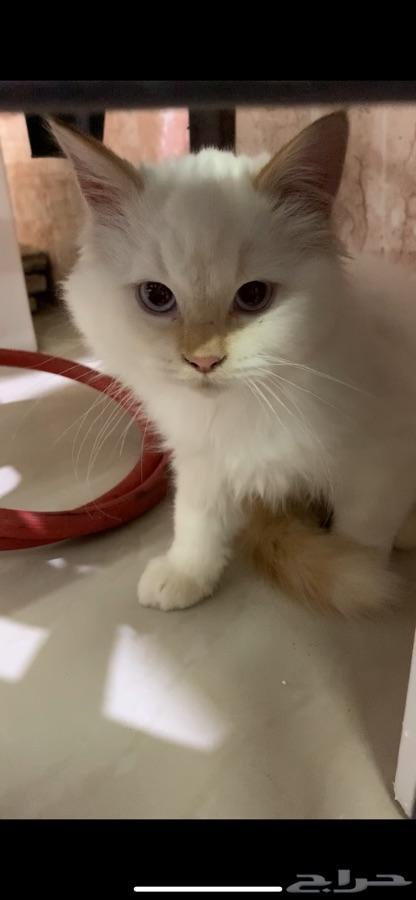 قطط صغيره للبيع (شيرازي-هملايا