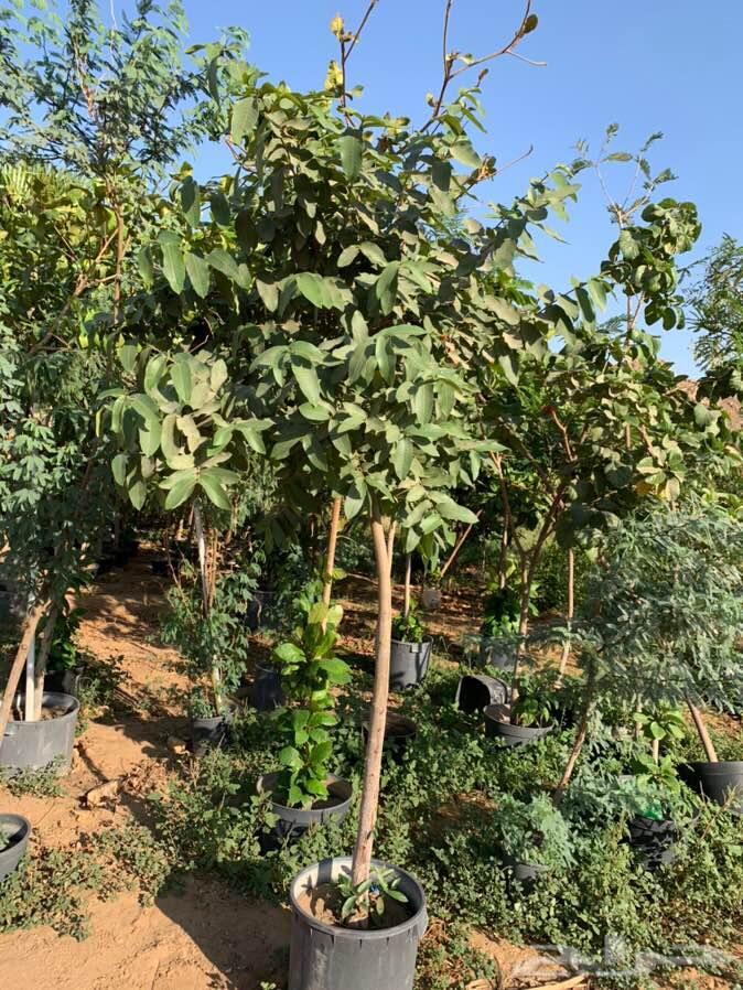 أشجار وشتلات زراعيه للبيع جمله