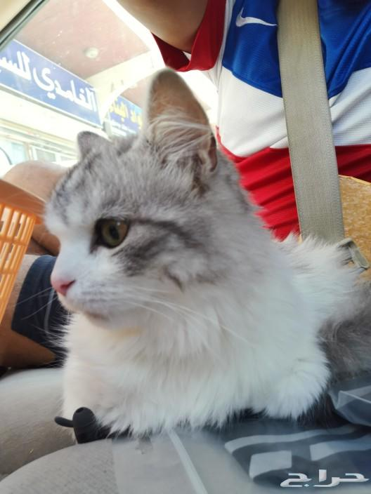 قطط شيرازيه ع السوووم