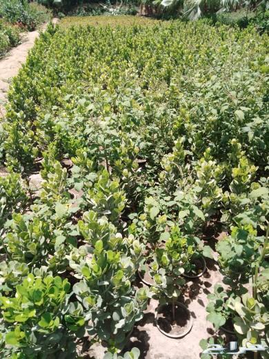 مشتل السعاده للتنسيق والزراعة