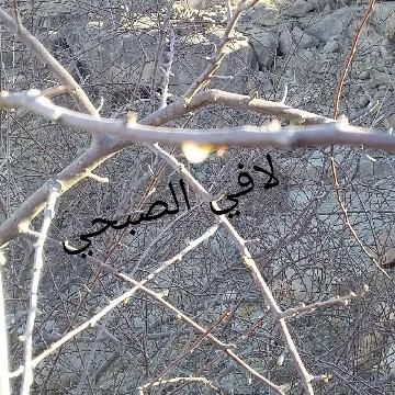 بيلسان اصلي _ مساويك بشام _شتلات بشام