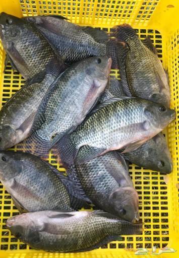 سمك بلطي حي للأكل المزاحمية