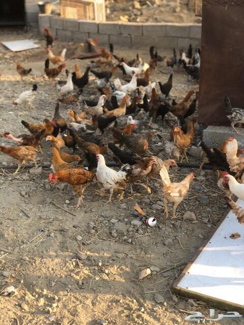دجاج بلدي للبيع